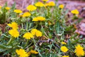 Medicinal benefits of dandelion and how to make useful recipes using dandelions, including tinctures, salves, jelly, and more!
