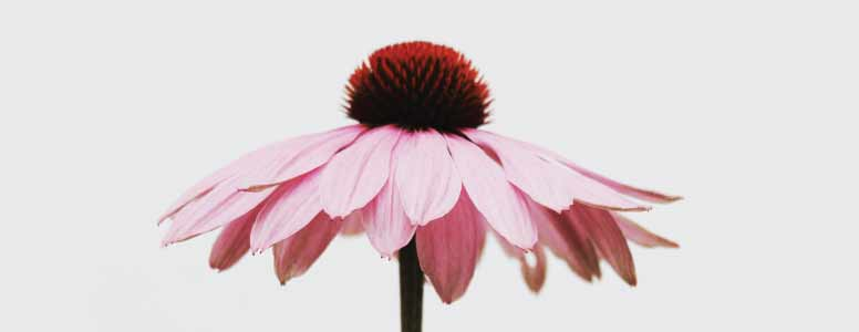 How to make a simple echinacea root and flower tincture for colds and flu