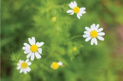 Flowering chamomile herb