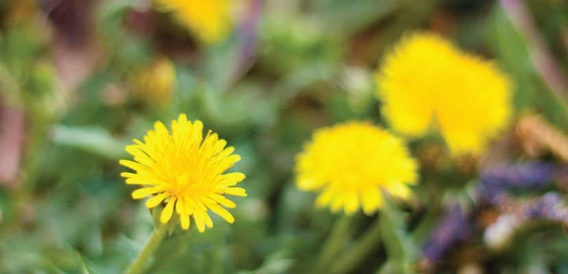 Dandelion benefits from flower to root- dandelions are good for you!