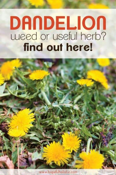 Dandelions with text overlay- dandelion weed or useful herb? Find out here!